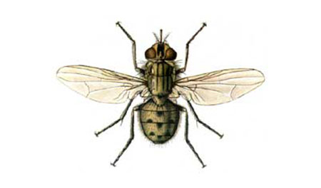 Musca stomoxe